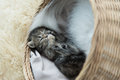 Tabby kittens sleeping and hugging in a basket Royalty Free Stock Photo