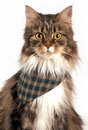 Tabby mainecoon wearing green scarf standing white background Royalty Free Stock Photography