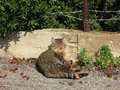 Tabby relaxing in the sun a cat on ground amid acorns Royalty Free Stock Image