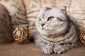 Tabby scottish fold cat a with a pink collar chaplet and two painted gold wood balls on a sofa Stock Images