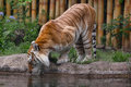 Tabby tiger drinking water dorata Immagini Stock