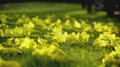 Tabebuia argentea flower beautiful on grass with sunray on morning Stock Image