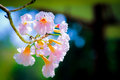 Tabebuia rosea is a neotropical tree that grows up to m in and can reach a diameter at breast height of up to cm ft the name roble Royalty Free Stock Images