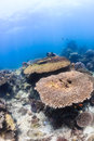 Table coral on a tropical reef corals shallow bright Stock Photography