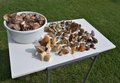 Table full of mushrooms in our forests boletus boletus lanatus parasol mushroom photo shows a section the most collected edible Royalty Free Stock Photography