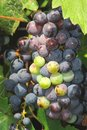Table grapes hanging on the vine in the sun Royalty Free Stock Photo