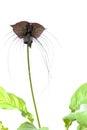 Tacca chantieri var macrantha, black bat flower isolated Royalty Free Stock Photo