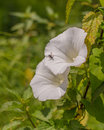 Tachinid fly on a larger bindweed plant flower the tachina cylindromyia rufipes is visiting species while the larvae of most Royalty Free Stock Photos