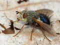 Tachnid fly on a dried leaf closeup of Stock Photo