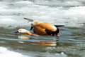 Tadorna ferruginea, Ruddy Shelduck. Royalty Free Stock Photos