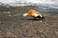 Tadorna ferruginea, Ruddy Shelduck. Stock Images