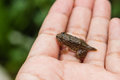 Tadpoles or Baby frogs in hand Royalty Free Stock Photo