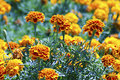 Tagetes flower on a bed Stock Images