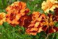 Tagetes orange flowers Stock Images