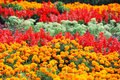 Tagetes and salvia in flowerbed Royalty Free Stock Photo