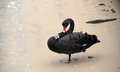 Tagged black swan preening its feathers a cleaning on the shoreline Royalty Free Stock Images