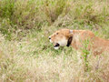 Tagged lioness with colour around her neck for recearch purposes in the serengeti national park of tanzania is prowling and Royalty Free Stock Photos