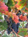 Tags of ripened grapes growing in a winery in Napa Valley Royalty Free Stock Photo