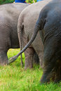 The tail Elephant from behind Stock Image