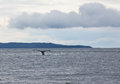 Tail of humpback whale in alaskan waters Stock Photo