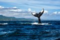 Tail of humpback whale Royalty Free Stock Photo