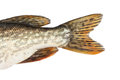 Tail pike Royalty Free Stock Photos