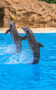 Tail stand dolphins performing a during a park show Stock Images