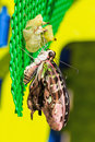 Tailed Jay (Graphium agamemnon agamemnon) butterfly Stock Photo