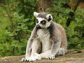 Tailed lemur Royalty Free Stock Images