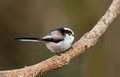 Tailed tit branch Stock Image