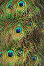 Tailfeathers of an Indian Peafowl Royalty Free Stock Images
