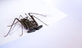 Tailless whip scorpion on a piece of white paper Stock Photography