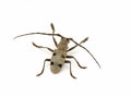 Tailor bug gray isolated on white background Royalty Free Stock Image