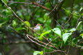 Tailorbird commun Images stock