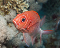Tailspot squirrelfish on a coral reef Royalty Free Stock Photo