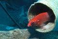 Tailspot Squirrelfish - Sargocentron caudimaculatum Royalty Free Stock Photo