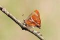 Taiwan butterfly on a herbivorous amblopala avidiena y fasciata Royalty Free Stock Image