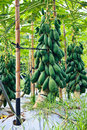 Taiwan modernization papaya planting Royalty Free Stock Photography