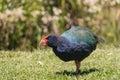 Takahe flightless bird picture of Stock Photos