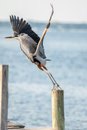 Take off great blue heron taking to fly a pier Royalty Free Stock Images