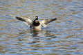 On takeoff satiated wild drake waving wings getting ready for from the water surface Stock Images