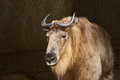Takin Himalayan Goat In Sunlight Royalty Free Stock Photos