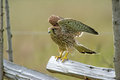 Taking off the young kestrel prepare to take from the round pole fence in uppland sweden Stock Image