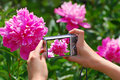 Taking photo of pink peony in the garden girl s hands holding digital camera and Royalty Free Stock Photography