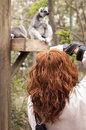 Taking a picture of a lemur catta woman photographer in the foreground and in focus photo to ring tailed in the background and out Stock Images