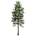 Tall American Pine Tree Isolated
