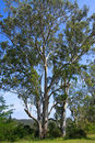Tall Australian Eucalyptus trees in the sun Royalty Free Stock Photography