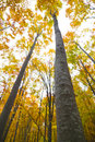 Tall autumn trees Stock Image