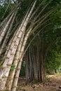 Tall bamboo shoots in tropics Royalty Free Stock Photo