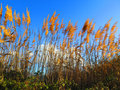 Tall bamboo on windy day Royalty Free Stock Photo